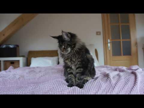 GRIOTTE ADELHEID (nearly 5months old), maine coon kitten