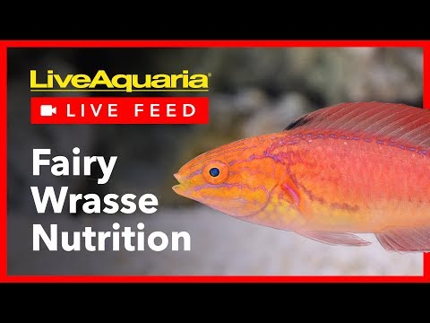 Fairy Wrasse Nutrition - LiveAquaria Live Feed - March 15, 2019