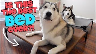 Is VeeHoo The Best Pet Bed For A Husky? (Face Reveal?!)