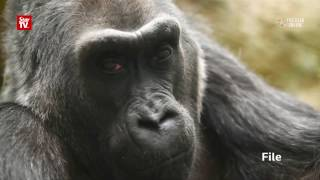 Colo, the oldest gorilla in captivity dies at Ohio zoo