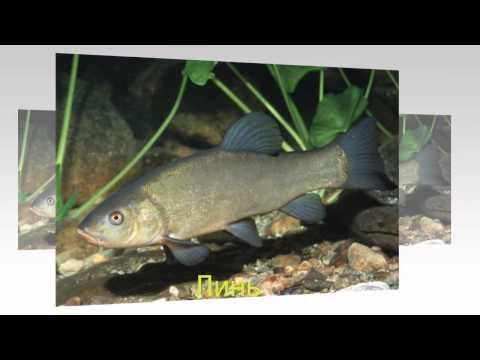 Речные рыбы.Слайд шоу из фото