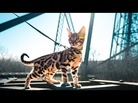 How To Walk Your Cat on a Leash    IT'S NOT EASY, but so worth it! from YouTube · Duration:  10 minutes 39 seconds