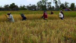 Rice Harvesting in Eastern Thailand