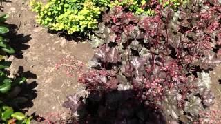 Гейхера пурпурная.(Добрый день! Мы занимаемся выращиванием и продажей растений для ландшафтного дизайна. В ассортименте собст..., 2014-07-02T16:44:31.000Z)
