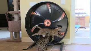 Bengal Cat Training