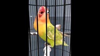 Gambar cover Love Bird Juara Cerewet Ngekek Panjang !!! Pemancing Love Bird