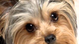 J.r. ~ The Yorkie With A Neurological Disorder.