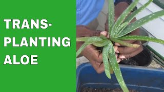 Video Transplanting Aloe download MP3, 3GP, MP4, WEBM, AVI, FLV Maret 2018