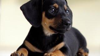 Какая Порода Собак Самая Умная?(В ходе исследований интеллектуальных способностей наших четвероногих друзей они установили следующее...., 2013-10-04T10:01:08.000Z)