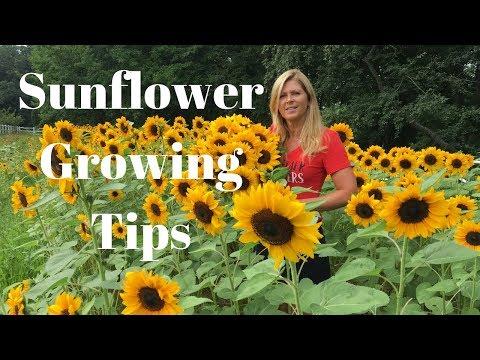 sunflower-growing-tips