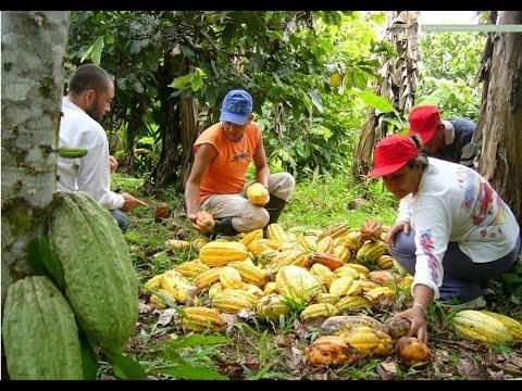 Producción de Cacao como industria Familiar - TvAgro por Juan Gonzalo Angel