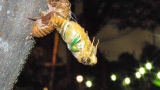 夏にしか見ることができないセミの羽化。夕方から夜にかけて幼虫から成...