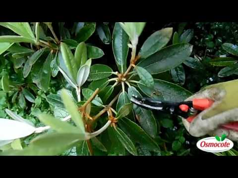 Pruning Your Rhododendron