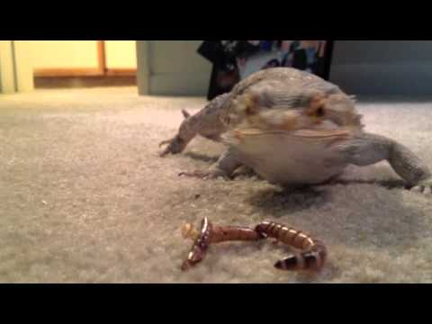 Pascal The Funny Bearded Dragon