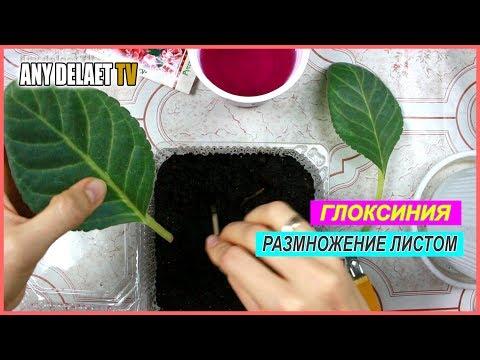 Глоксиния размножение листом | Листовое размножение Глоксинии