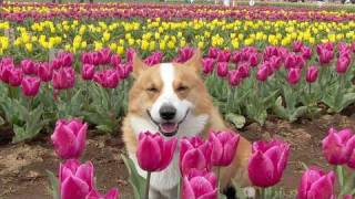 (hd) Festival Of Tulip / チューリップまつり 佐倉市 20100408 Goro@welsh Corgi