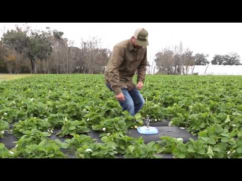 Typical Day on the Farm with FL Strawberry Grower Wish Farms