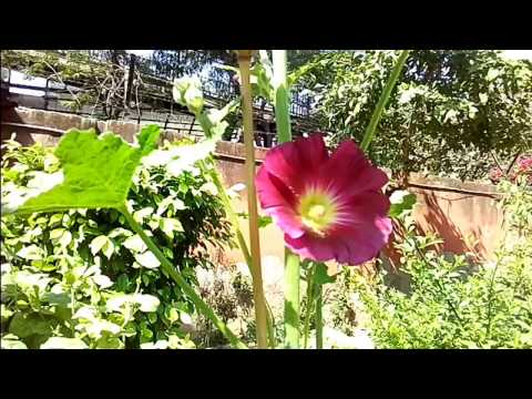 Hollyhock Flowers planting