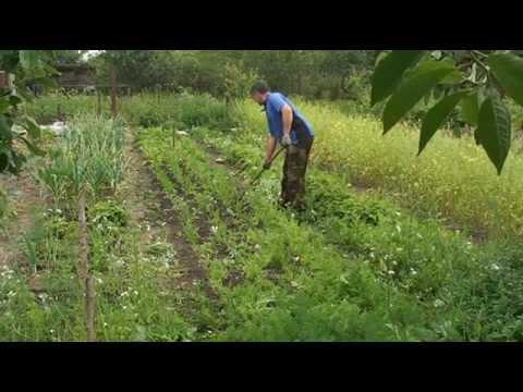 Борьба с сорняками׃  Прополка моркови плоскорезом Мазнева