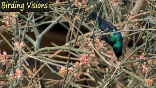 Palestine Sunbird foraging - song & call - Judean Desert