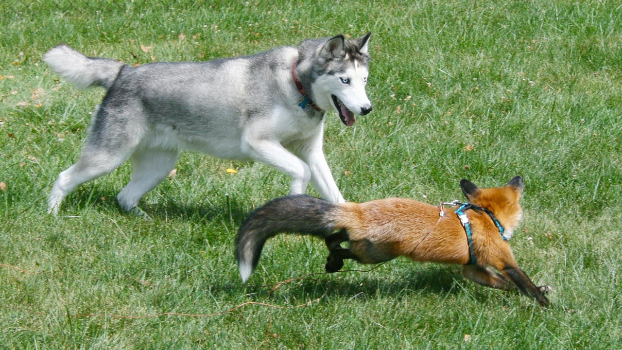 Fox And Hound Are Best Of Friends Youtube