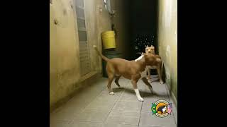 Pitbull fight video in punjab | Dog vs Dog | fighting videos 2019,