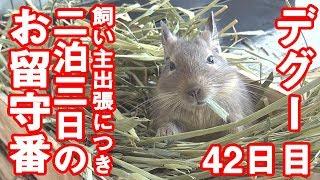 デグー「二泊三日のお留守番」degu The one at home #0038