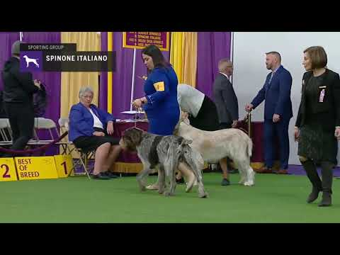 Spinoni Italiani | Breed Judging 2019
