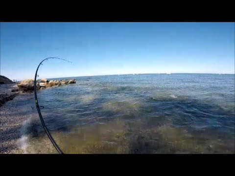 Incredible Albie and Striper Fishing Against the Shore!
