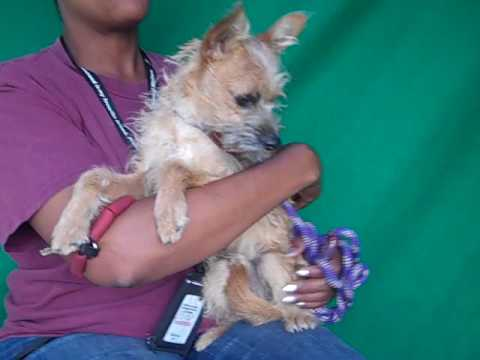 A4985951 Elwood   Cairn/Border Terrier