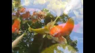 Koi balığı koi fish//süs havuzu