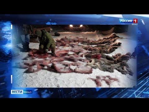 Браконьерство на грани: на Ямале жестоко убиты двебеременные самки лося и телёнок