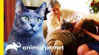 Jake The Korat Makes The Purrfect Therapy Cat | Cats 101