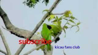 Gambar cover Merduya Kicauan burung cucak hijau di alam liar