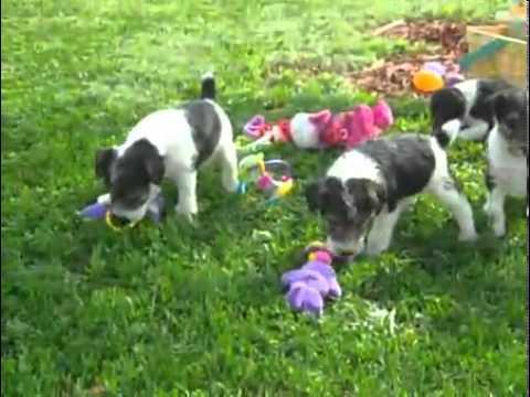 CONNER, A CUTIE! - Wire Fox Terrier Puppy