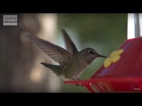 Hummingbirds In Slow Motion - BBC Earth