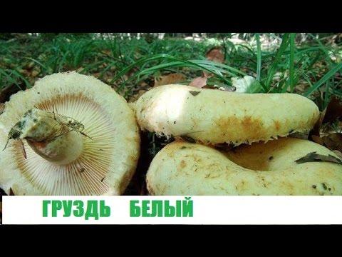 Грузди.Поиск грибов в березовом лесу.