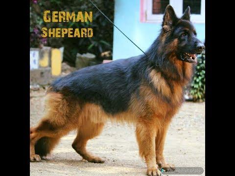 ജർമൻ ഷെപ്പേർഡ് / german shepherd