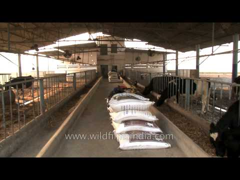 Organic cows at a dairy farm in Punjab