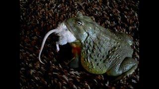 Гигантские африканские Лягушки-быки, едят всЁ подрят