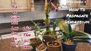 🇨🇦 Cách Làm Cho Lan Ra Ra Hoa Và Cây Con, Hoa Nở Lâu Tàn Dễ Dàng // How To Propagate Dendrobium.