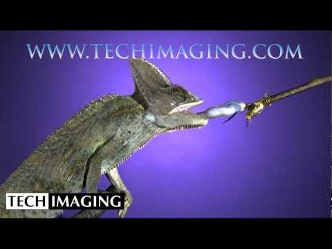 High Speed Camera Video - Camelion using its tongue