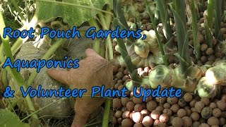 Aquaponics, Root Pouches & Volunteer Plants with a Cameo from a Blue Bummed Bee