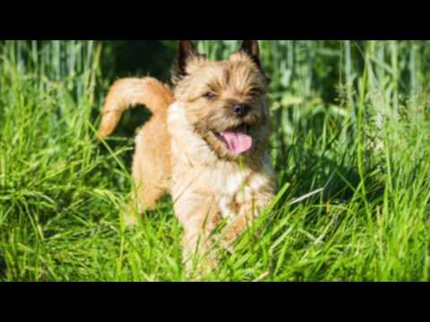 Cairn Terrier Information