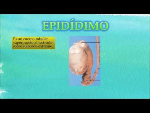 Anatomia del aparato reproductor del conejo macho - YouTube