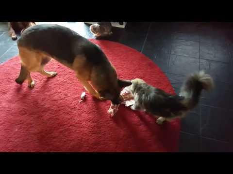 cat stealing dog food