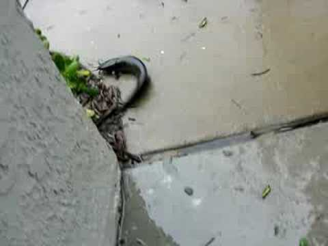 walking catfish - YouTube - photo#28