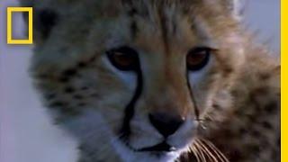 Cheetah Cub vs. Gazelle   Fast and Furious