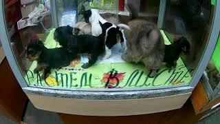 Птичий рынок. Собаки, щенки. Йорки, шпицы, чихуахуа и другие. / Видео