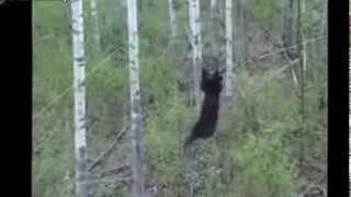 Медведь клюнул на приманку